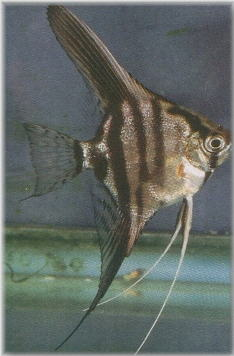 Leopard Angelfish | Tas Library Dr Norton Article Leopard Angelfish