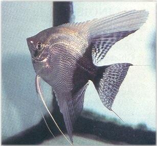 Half Black Angelfish Freshwater